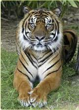 Smithsonian tiger