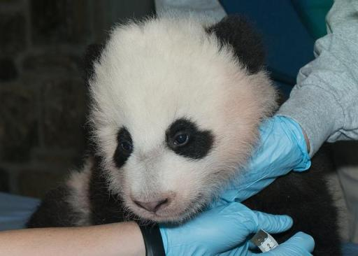 An online poll administered by the National Zoo chose Bao Bao as the name for its newest panda cub. Credit: Abby Wood, Smithsonian's National Zoo